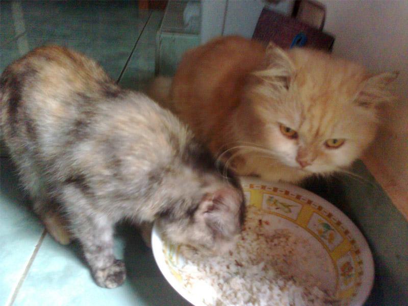 Jangan Biarkan Nasi Menjadi Makanan Rutin Si Kucing